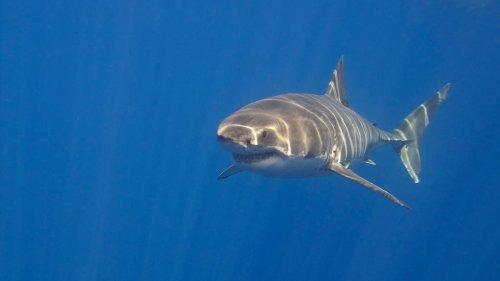 Les requins blancs confondent les humains avec leurs proies animales, selon une étude