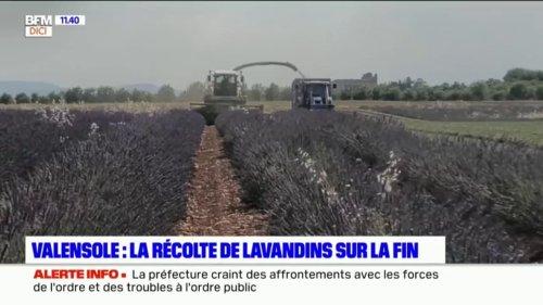 Valensole: la récolte de lavandins touche à sa fin
