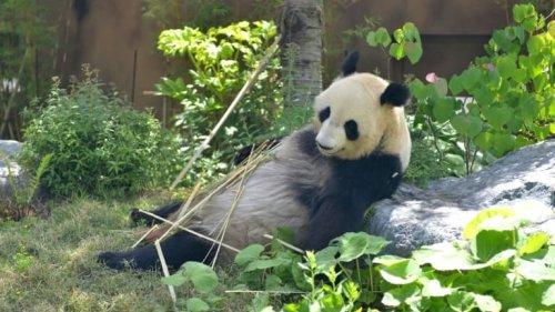 Des jumeaux pandas sont nés dans un zoo de Tokyo, un événement au Japon