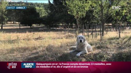 Dans le Var, le combat d'un éleveur pour garder ses chiens de troupeau accusés de trop aboyer