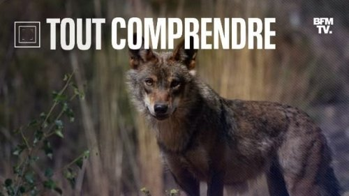 TOUT COMPRENDRE – Attaques de loup, éleveurs à bout: pourquoi la situation se tend dans les Alpes du Sud