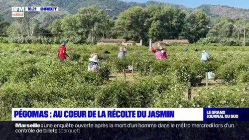 Alpes-Maritimes: la récolte du jasmin bat son plein à Pégomas