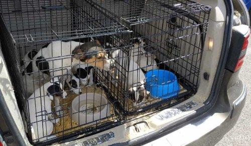 Haut-Rhin: les douanes découvrent une chienne et 15 chiots en état de détresse dans le coffre d'une voiture