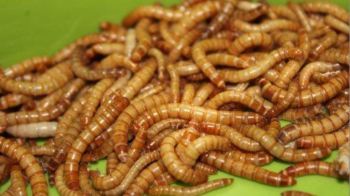 Foodtech: Ynsect rachète Protifarm et espère investir le marché de l'alimentation humaine