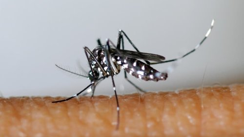 Alfortville: vaste opération anti-moustique tigre après la découverte d'un cas de dengue