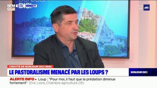 """Hautes-Alpes: pour le président de la Chambre d'agriculture, """"l'élevage avec le loup est fortement compromis"""""""