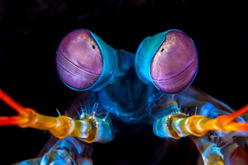 Mantis shrimp throw deadly punches just 9 days after birth