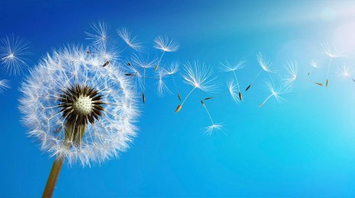 Scientists discover that dandelion seeds are basically magic