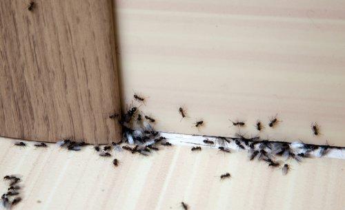 Fourmis dans la maison : 12 solutions naturelles pour s'en débarrasser sans les tuer !