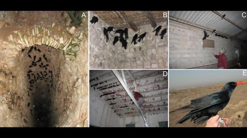 Scientists pretend to be Neanderthals to catch birds