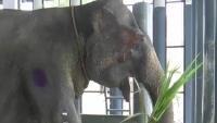 163 Gallensteine  quälen Elefanten!