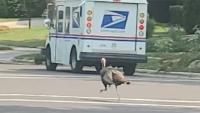 Truthahn verfolgt Postboten