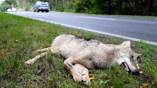 Junger Wolf in Sachsen totgefahren