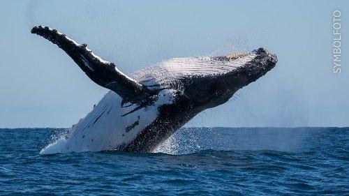 Buckelwal verschluckt Taucher in den USA – Mann überlebt!