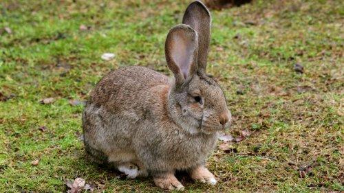 Polizei schnappt Frau nach Kaninchen-Wurf