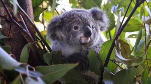 Koalas werden gegen Sex-Bakterien geimpft