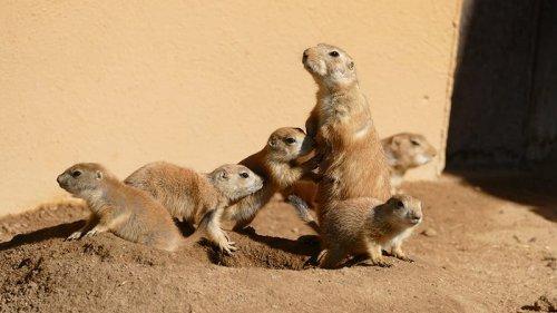 Präriehund-Babys im Heidelberger Zoo