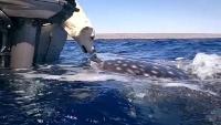 Labrador-Retriever küsst  riesigen Hai auf die Nase