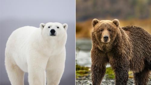 """Kuriose Mischlinge: """"Cappuccino-Bären"""" als Folge des Klimawandels"""