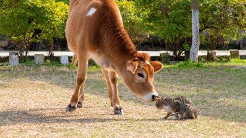Ungewöhnliche Tierfreundschaft: Kuh und Katze können nicht ohne einander!