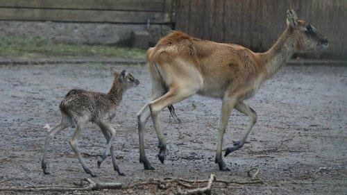 Der Kölner Zoo freut sich über Nachwuchs im Antilopen-Gehege