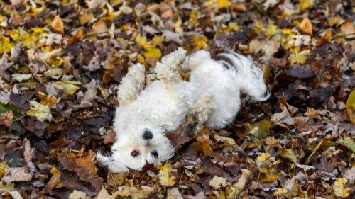Wenn Hunde sich in Fäkalien wälzen: Kann man ihnen das abgewöhnen?