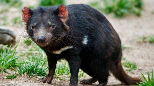 3.000 Jahre nach Ausrottung: Tasmanische Teufel sind zurück!
