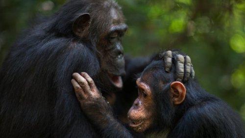 Neue Studie zeigt: Schimpansen begrüßen und verabschieden sich voneinander