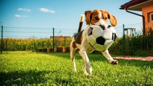 So niedlich: Dieser Hund wird immer wieder zum kleinen Dieb – eines entwendet er besonders gern