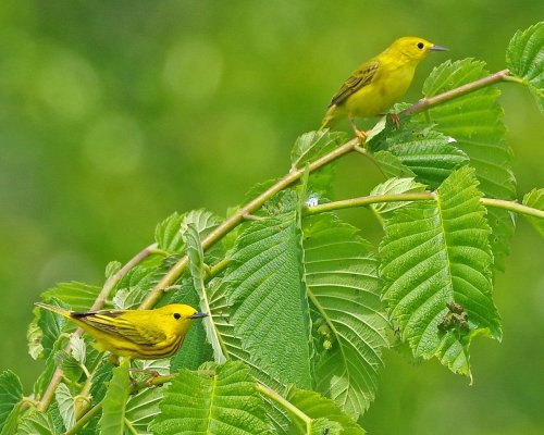 Yellow Warbler vs Goldfinch: How to Tell the Difference