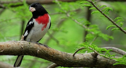 15 Outstanding Pictures of Rose-Breasted Grosbeaks