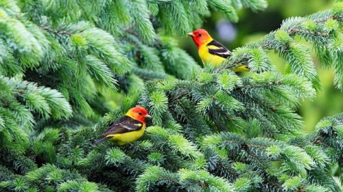 Western Tanagers Are Fiery, Eye-Catching Fliers