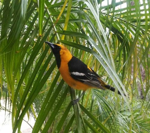 8 Types of Orioles to Look for in North America