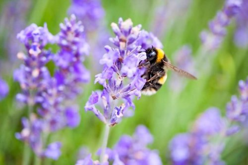 7 Essential Facts about Growing Lavender Plants