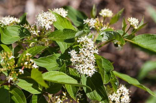 15 Beautiful White Flowering Shrubs