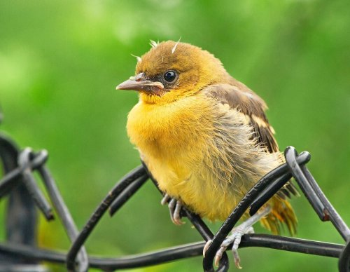 How to Identify Baby Orioles and Juvenile Orioles