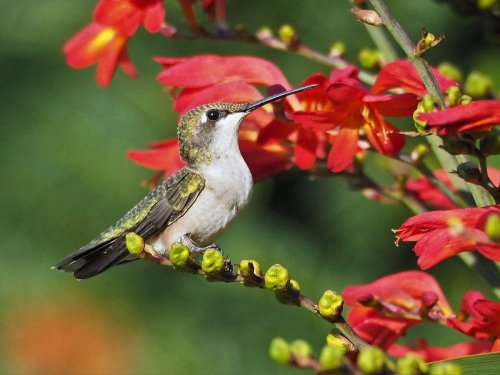 15 Types of Hummingbirds Found in the United States