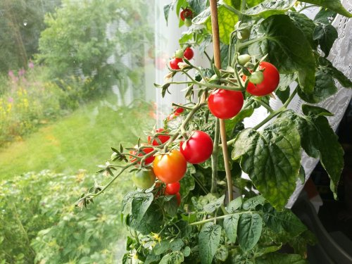 Top 5 Tips for Growing Tomatoes Indoors (From a Tomato Expert)