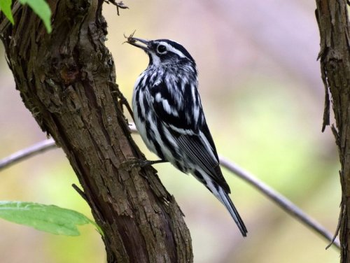 20 Black and White Birds You Might See