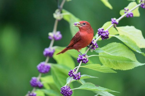 Head South to See Summer Tanagers