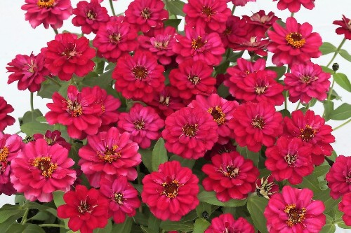 The Zinnia Profusion Series Will Fill Your Garden With Color