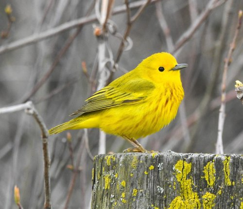 Yellow Warblers: The Sunniest Spring Birds