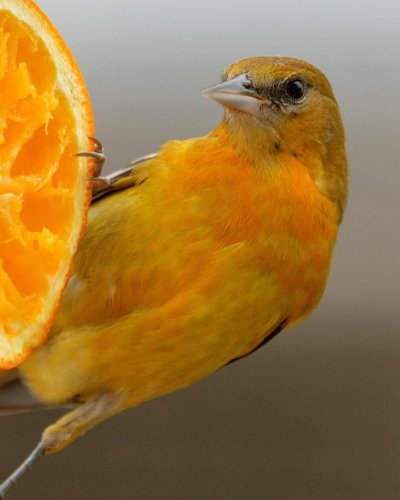 8 Surprising Baltimore Oriole Facts