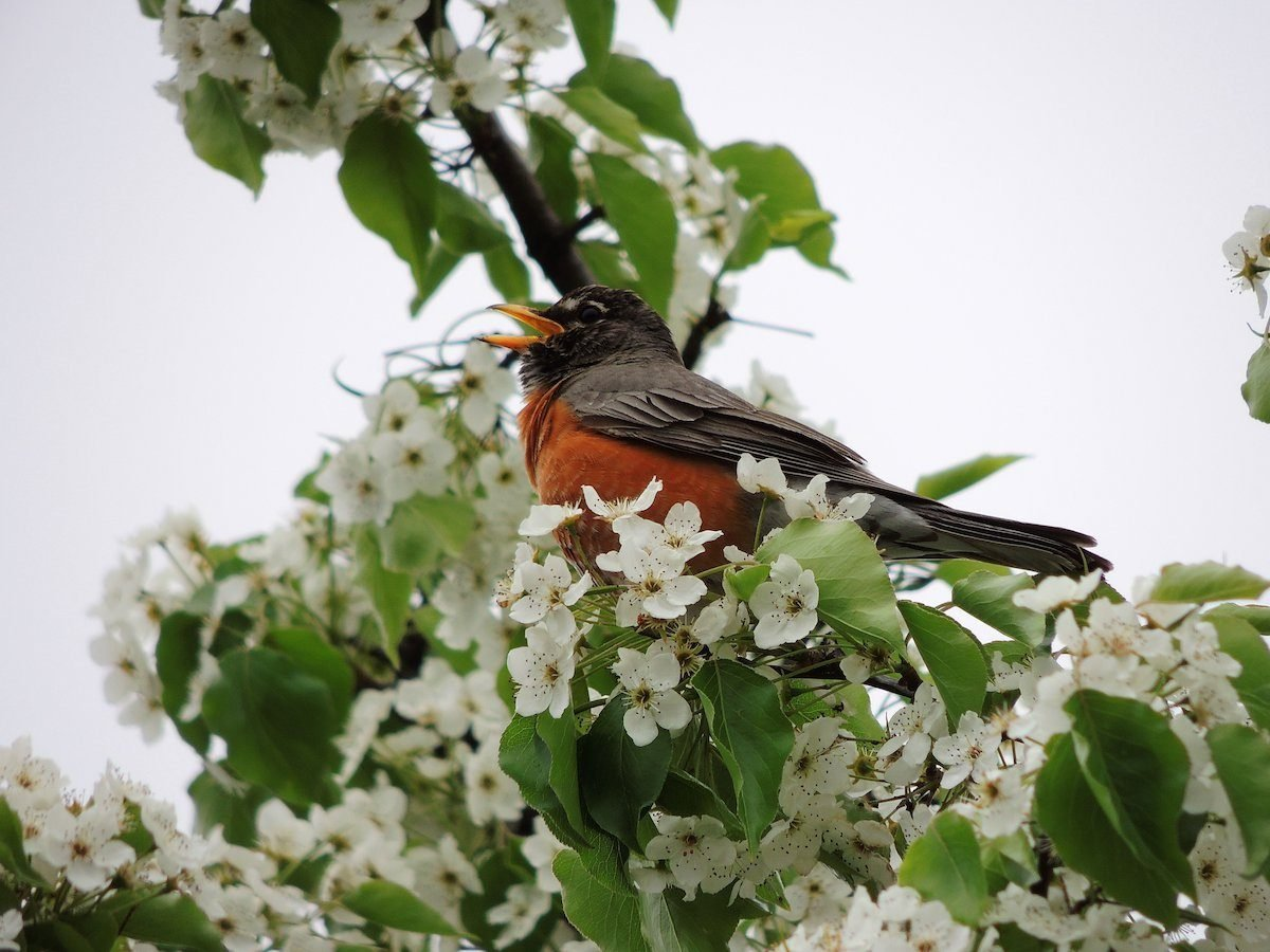 Wake Up Early to Listen for a Robin Bird Call