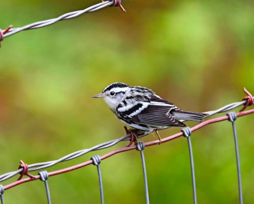 Black-and-White Warblers: The Zebra Birds