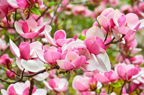 The Best Flowering Trees for Your Yard - cover