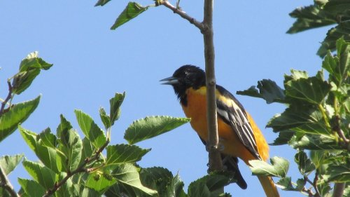 What Does a Baltimore Oriole Song Sound Like?