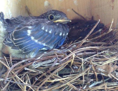 When Do Bluebirds Nest and Lay Eggs?