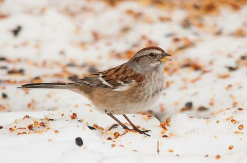 Don't Forget Native Sparrows at Bird Feeders