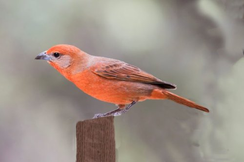 Where to Find Flame-Colored and Hepatic Tanagers